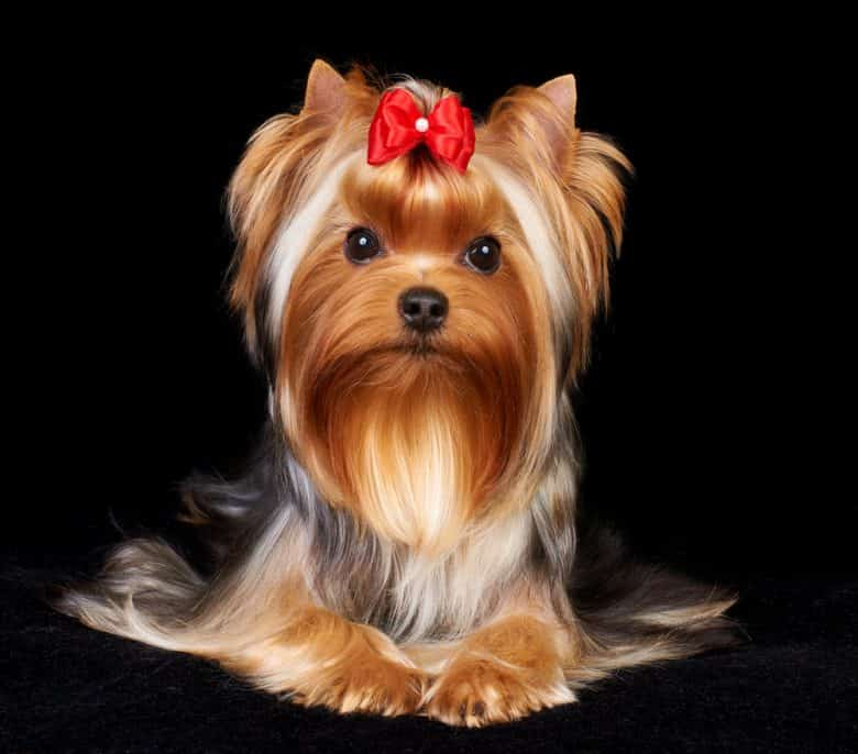 Black, white, and tan Yorkshire Terrier sitting with its paws in front