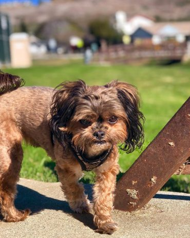 Shih Tzu Yorkie Mix standing outdoors and grimacing at the camera