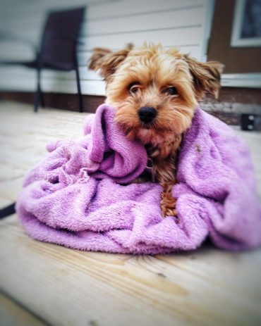 Shih Tzu Yorkie mix wrapped in a towel on the porch