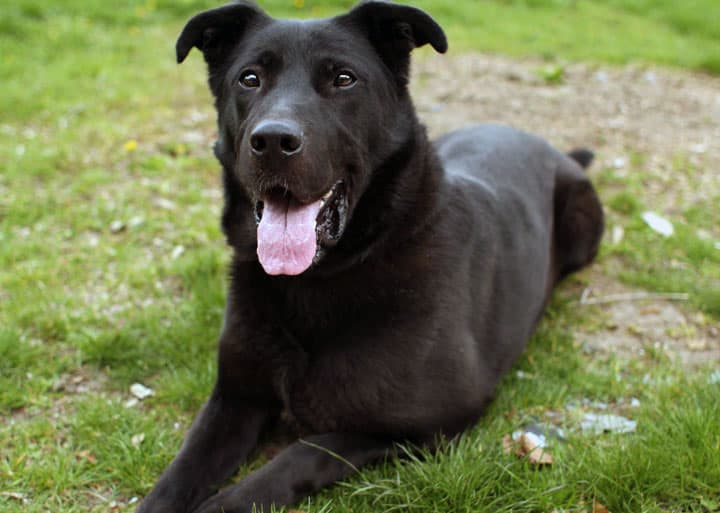 1 Year Male German Shepherd Dog Cross Labrador: 8 Questions Answered About The German Shepherd Lab Mix