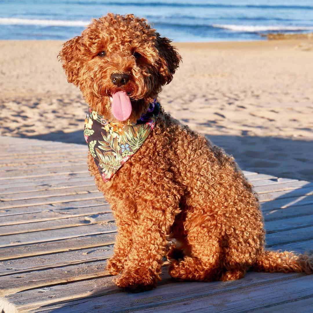 Are Sheepadoodles The Right Breed For You K9 Web