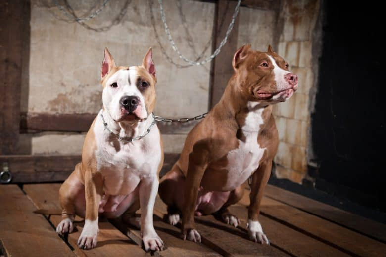 Two Pit Bulls with cropped ears standing side by side