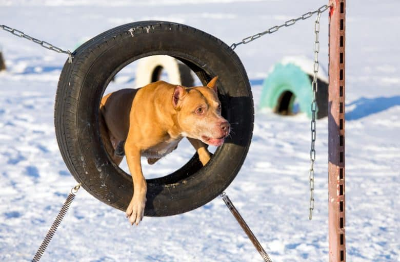 American Pit Bull Terrier jumping through a tire