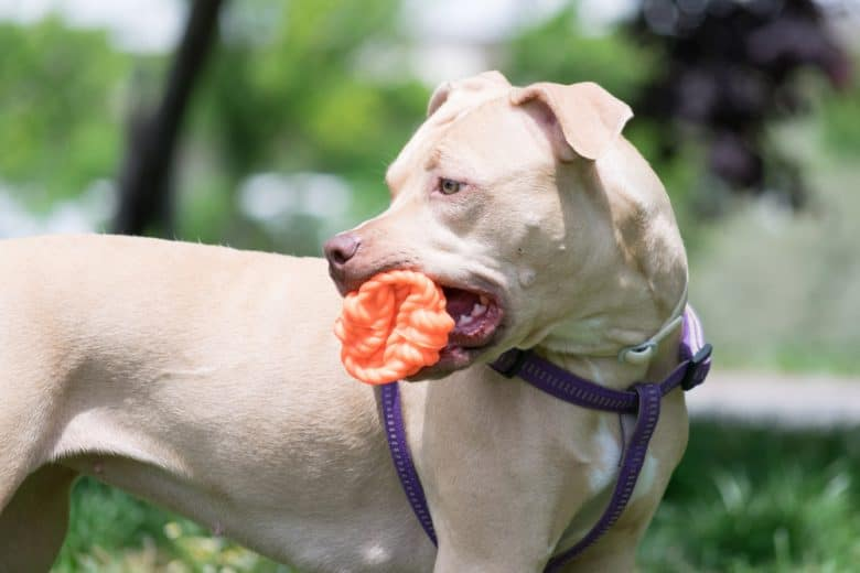 American Pit Bull Terrier playing with a toy