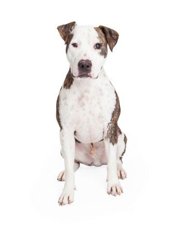 Cute American Pit Bull Terrier