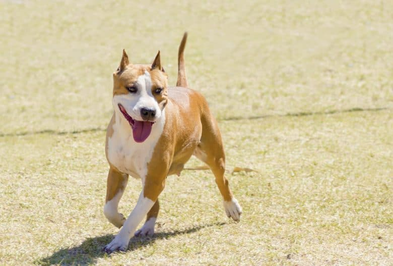 American Staffordshire Terrier running with its tongue out