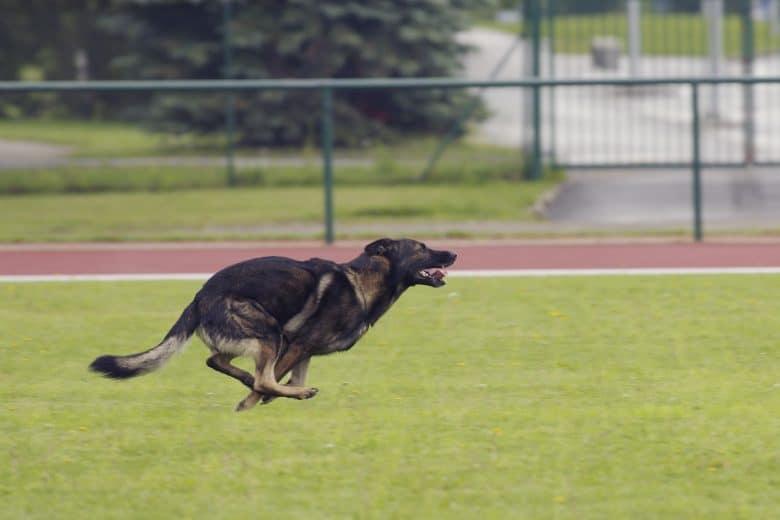German Shepherd running fast