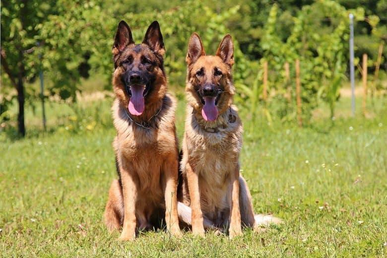 Two German Shepherds standing outside