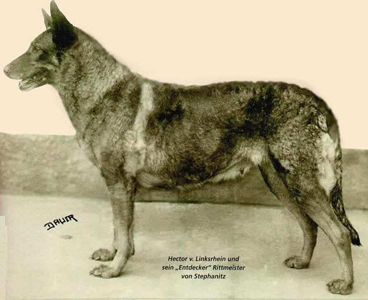 side view of Horand von Grafrath, the first German Shepherd