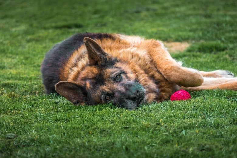 A GSD rolling in the grass