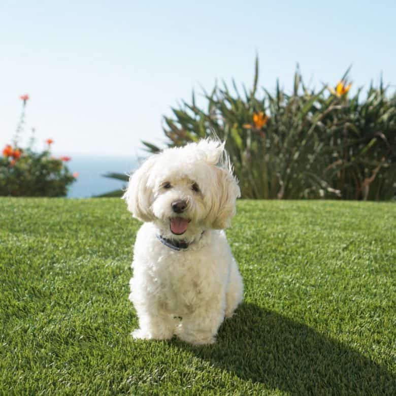 Top Questions about the Shih Poo - K9 Web