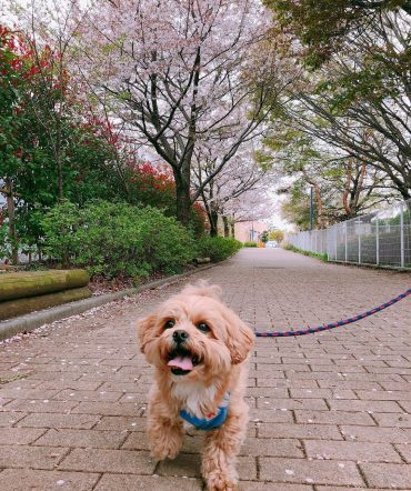 Shih Poo out on a walk in the park