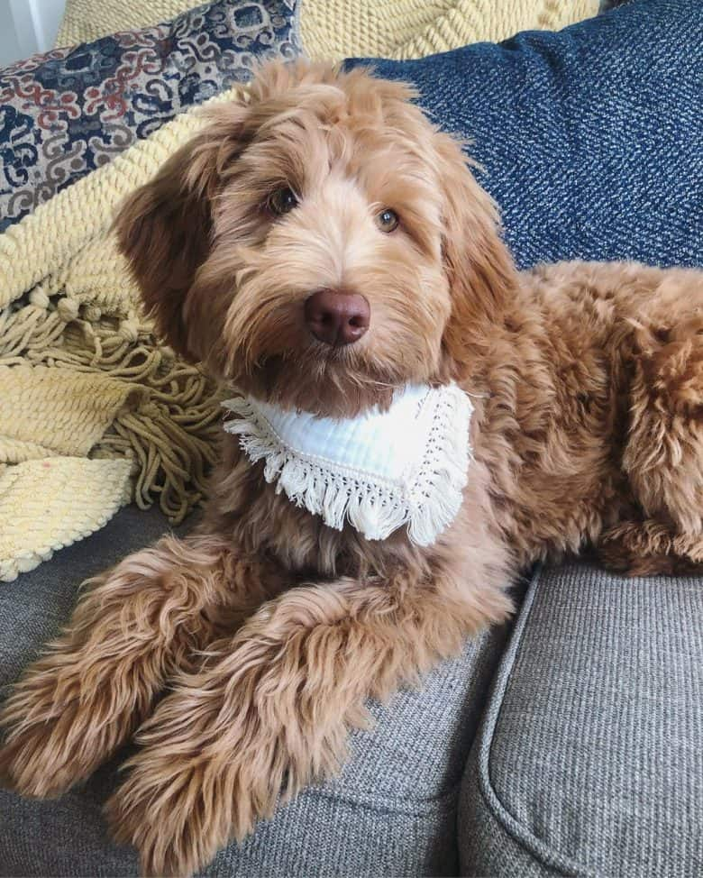 Australian Labradoodle with white scarf sitting on the couch