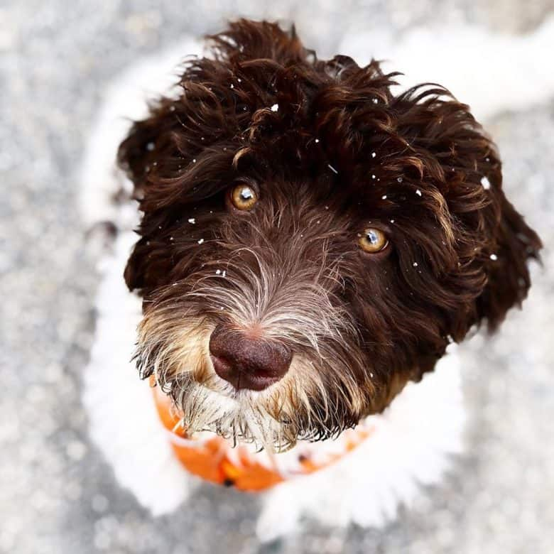 Close up photo of an Australian Labradoodle with bits of snow on its face