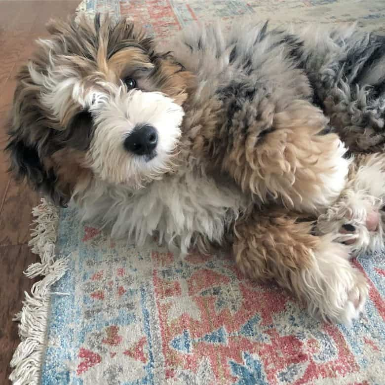 Bernedoodle puppy on the carpet