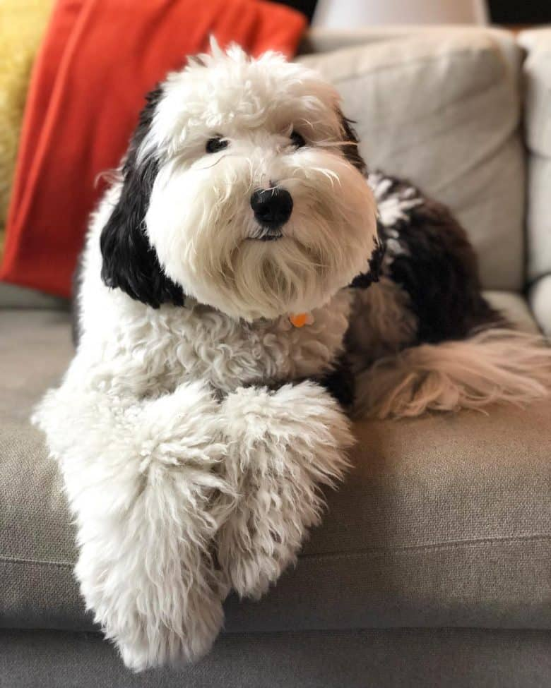 Sheepadoodle sitting on the couch