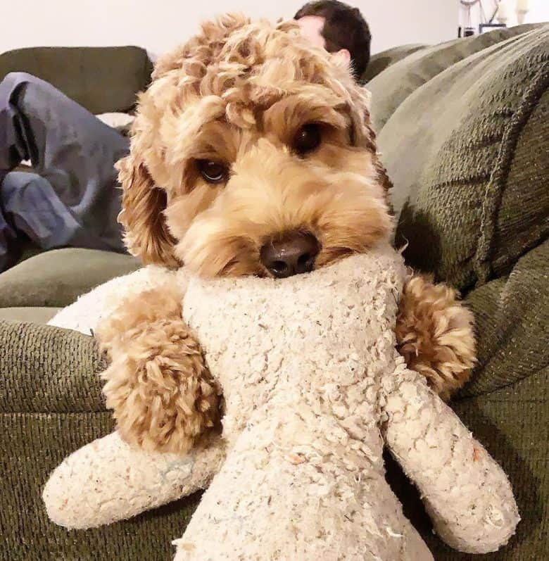 Australian Labradoodle puppy playing with her stuffed animal