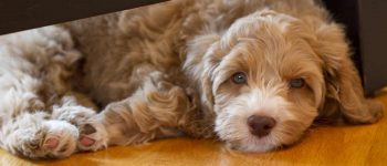 Aussiedoodle pup under the chair