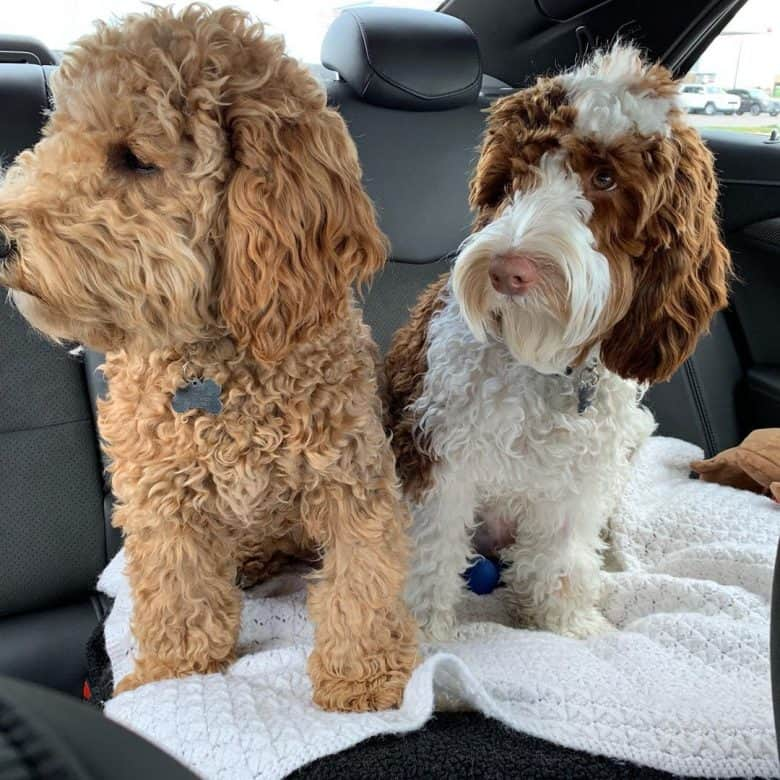 Two different colored Australian Labradoodles enjoying a car ride