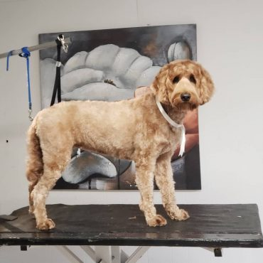 Freshly groomed Australian Labradoodle still on a grooming table