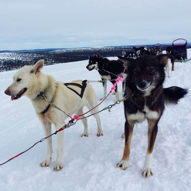 Alaskan Huskies pulling a sled across the snow