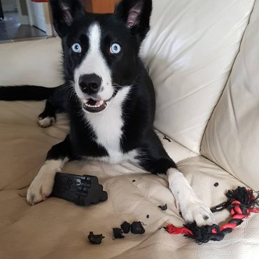 Alaskan Husky lying on the couch with a destroyed chew toy