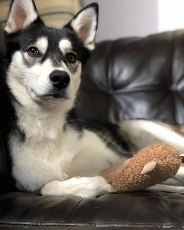 Alaskan Husky lying on the couch with a toy