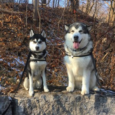 Alaskan Malamute and Siberian Husky standing side by side on a rock