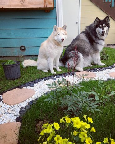 Siberian Husky and Alaskan Malamute standing in the garden