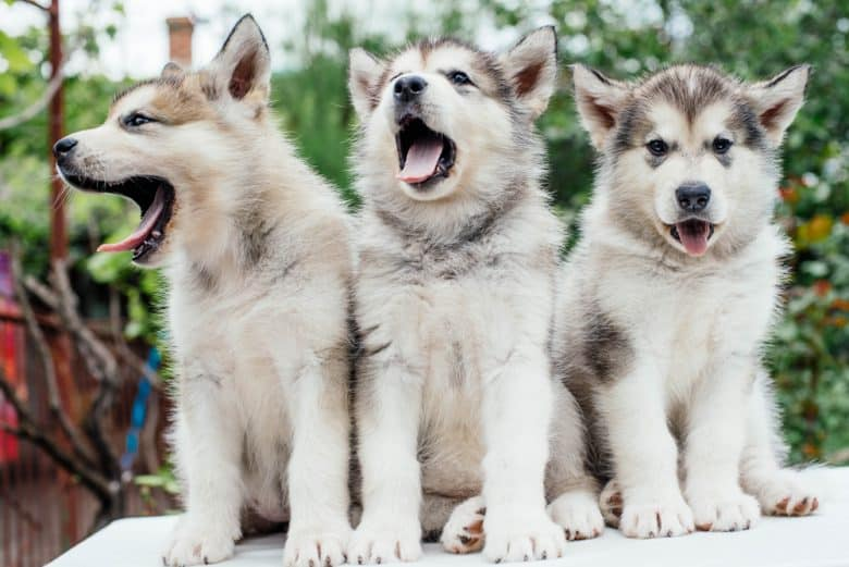 Alaskan Malamute puppies standing side by side and yawning