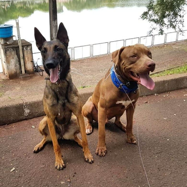 An American Pit Bull Terrier with a Belgian Malinois at the park