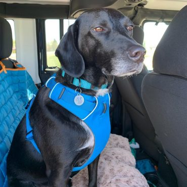 Beagle Lab Mix wearing a harness and sitting in the backseat