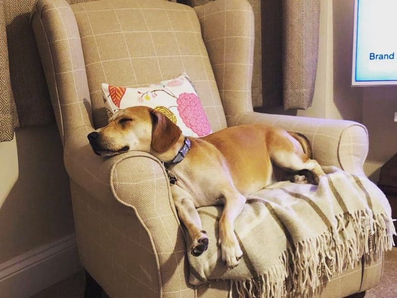 Beagle Lab Mix lying on a chair