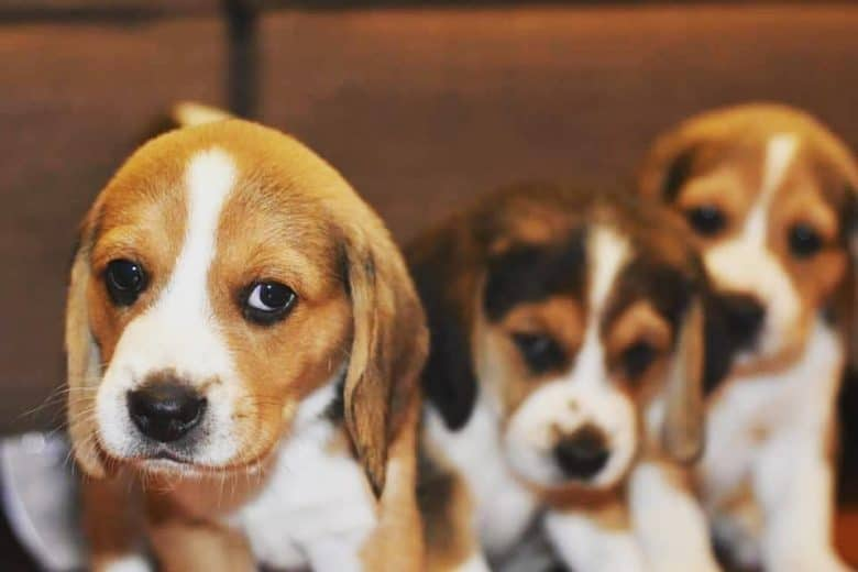 Beagle Lab Mix puppies being held