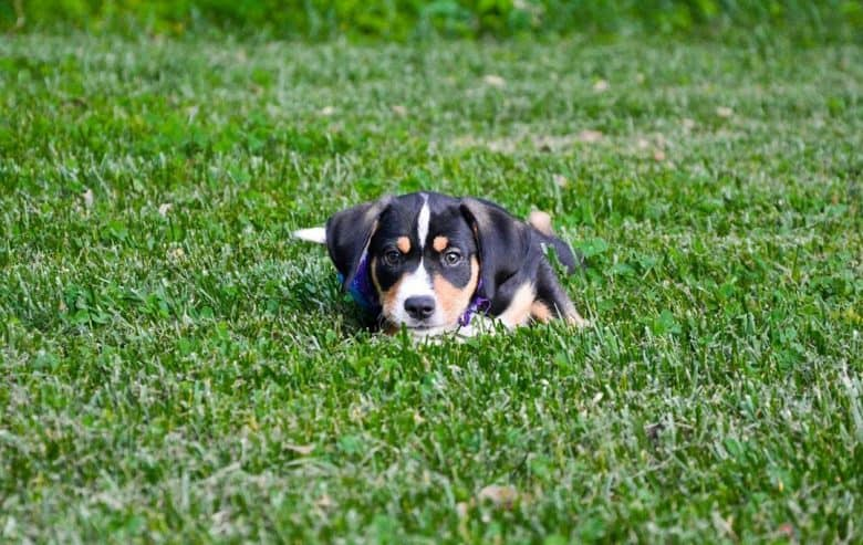 Beagador puppy lying in the middle of grass