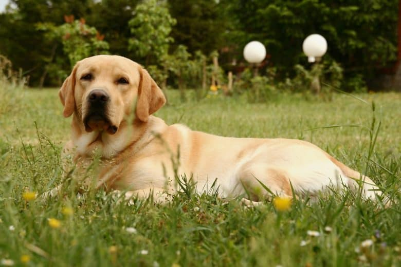 Labrador Retriever lying in a field of grass