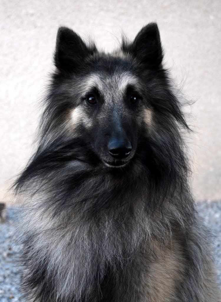 A beautiful Belgian Sheepdog
