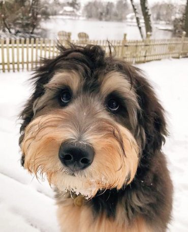 Bernedoodle dog standing outdoors in the snow