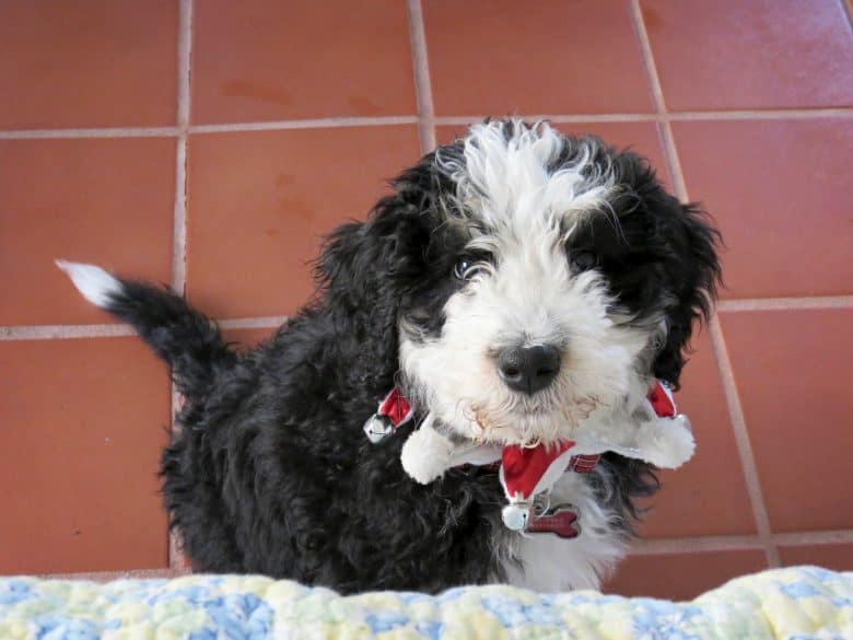 Black and white Bernedoodle puppy sitting on the floor