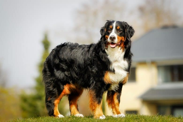 Bernese Mountain Dog standing outside in the sun