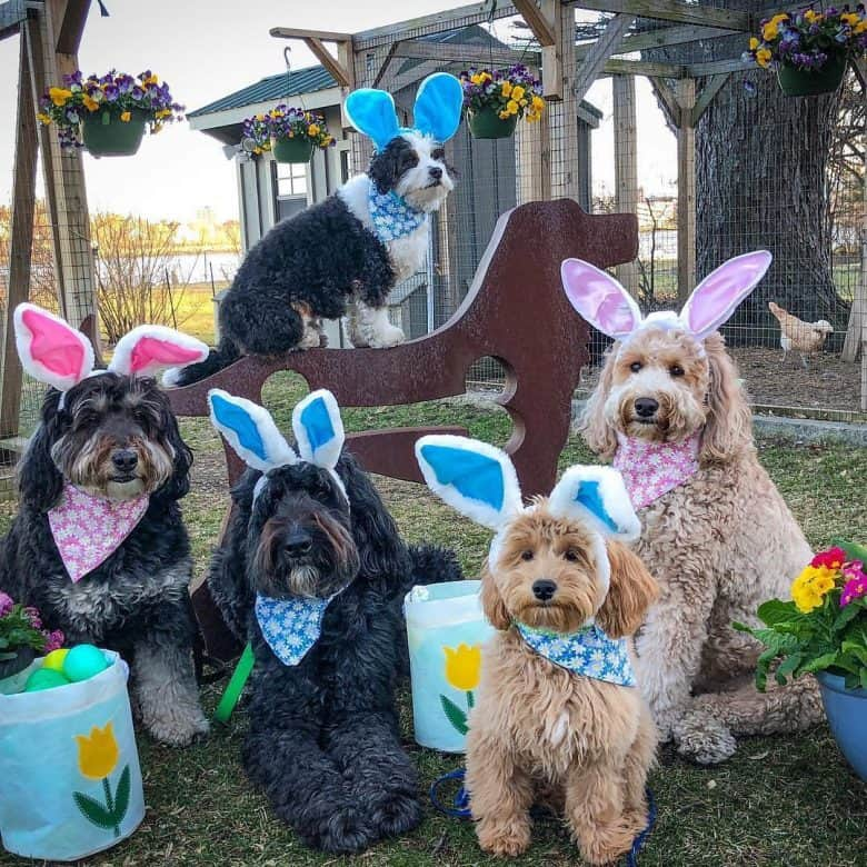 Standard-sized Bernedoodles outside, dressed up for Easter