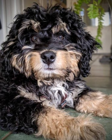 A tri-colored Bernedoodle sitting on the porch