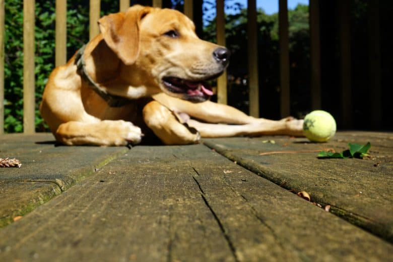Black Mouth Cur laying on the porch with a tennis ball