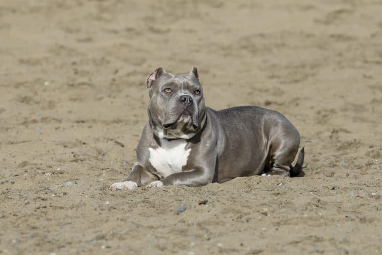 Blue Nose Pitbull on the sand