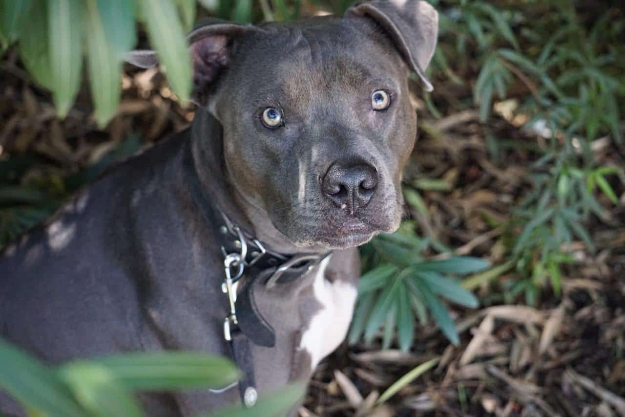 Blue Nose Pitbull: What You Need to Know About