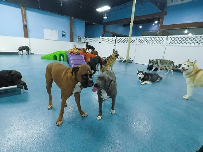 Blue Nose Pitbull with its tongue out socializing in doggie day care