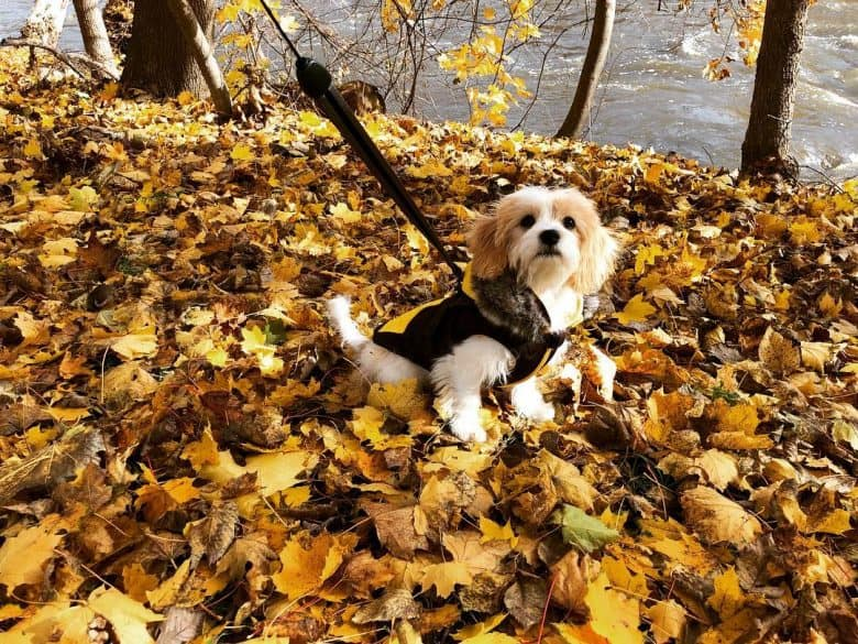 Cavachon sitting outdoors among leaves during fall