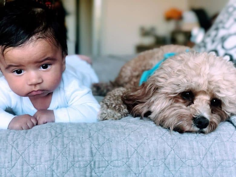 Cavalier-Poodle mix lying beside a baby on the bed