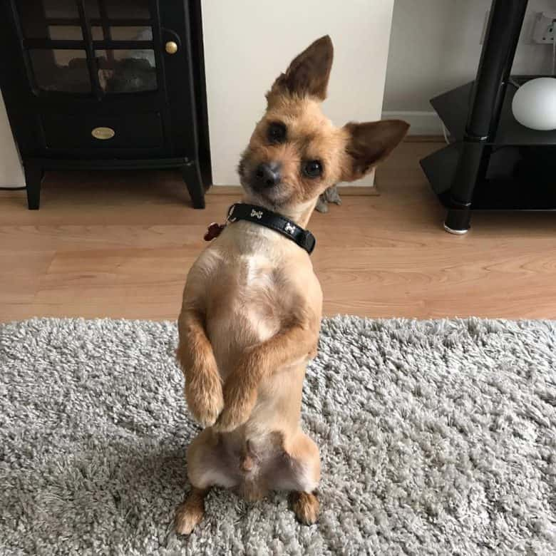 Chihuahua Yorkie Mix standing on its hind legs