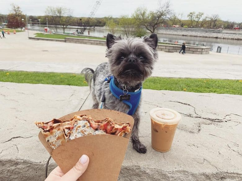 Chorkie sitting in the park and looking at food